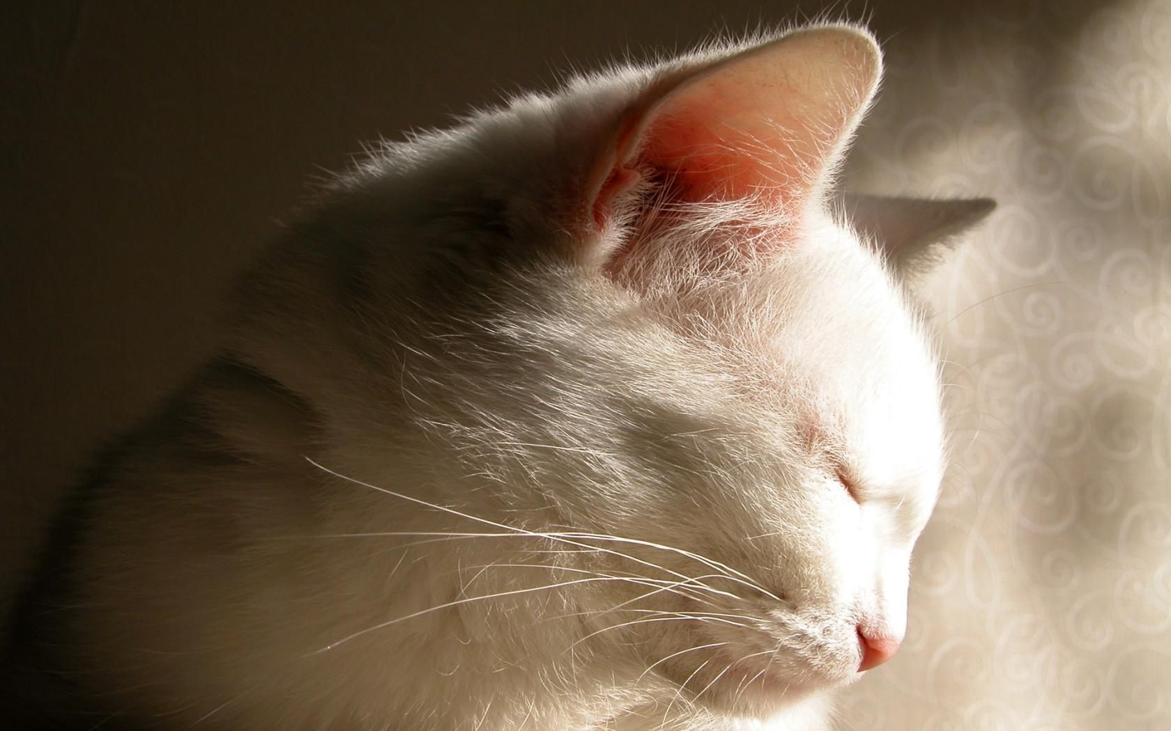Название кошки размер 1680x1050