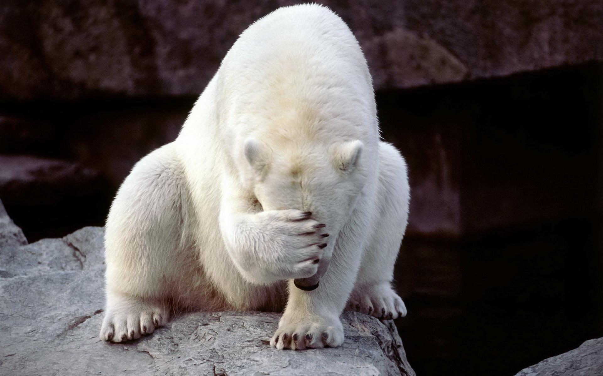 Рейтинг картинки полярные медведи