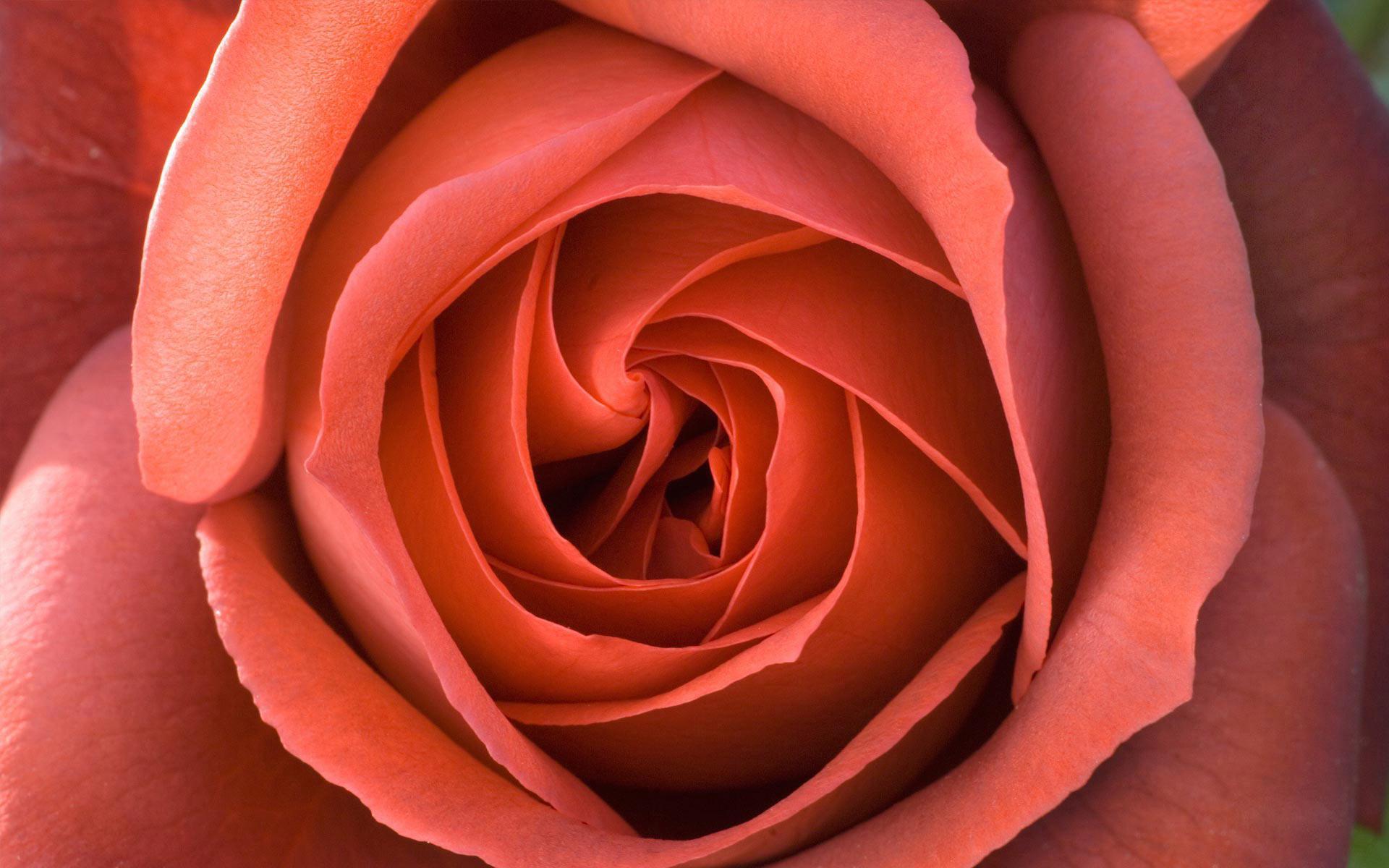 Название розы размер 1920x1200